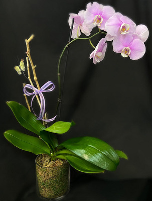 AD108 Phalaenopsis Orchid Plant from Fabbrini's Flowers in Hoffman Estates, IL