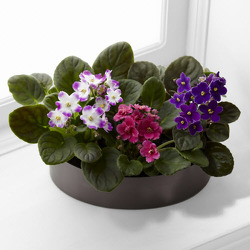 P111 African Violets from Fabbrini's Flowers in Hoffman Estates, IL
