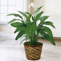 P106 Peace Lily Plant from Fabbrini's Flowers in Hoffman Estates, IL