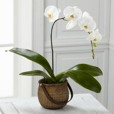Phalaenopsis orchid plant P109 from Fabbrini's Flowers in Hoffman Estates, IL