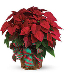 CH1073 Red Poinsettia from Fabbrini's Flowers in Hoffman Estates, IL