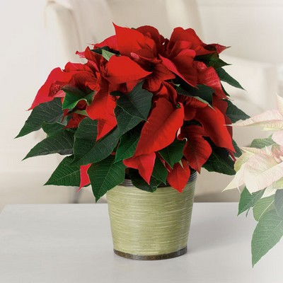 Poinsettia P1200 from Fabbrini's Flowers in Hoffman Estates, IL