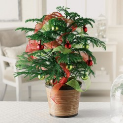 Norfolk Island Pine  C103 from Fabbrini's Flowers in Hoffman Estates, IL